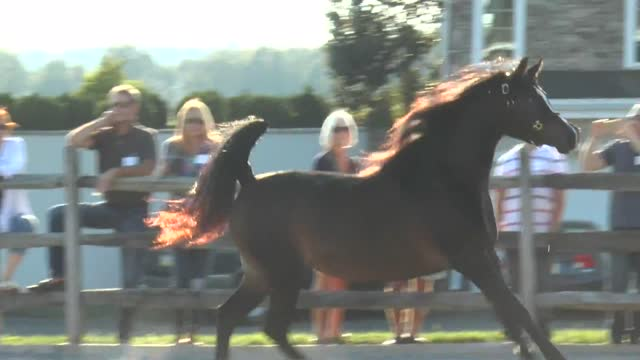 Autumn With Arabians! At Thornewood Farm Stockton NJ
