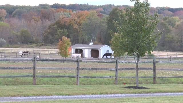 Thornewood Farm Egyptian Arabian horses 'Aura'
