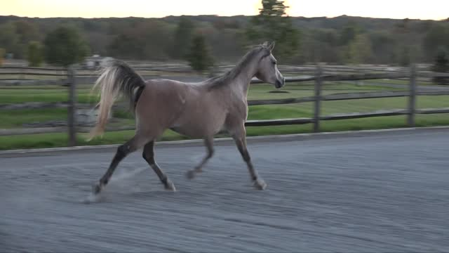 Thornewood Farm - Amazing Egyptian/Arabian Horses for Sale and Share