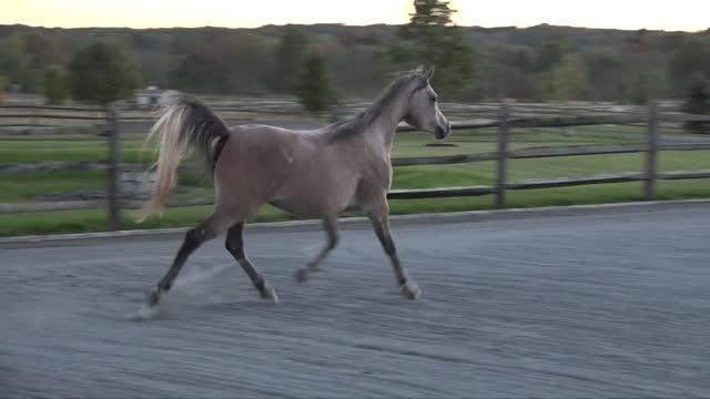Thornewood Farm - Amazing Egyptian/Arabian Horses for Sale and Share