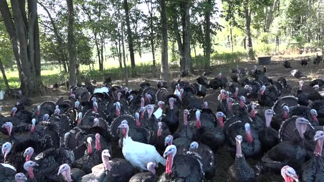 'Let's Talk Turkey' Double Brook Farm Brick Farm Group